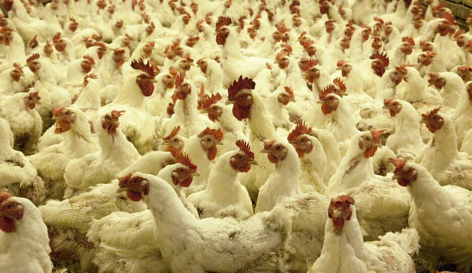 devlet-destekli-tavuk-ciftligi-kredisi
